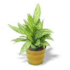 Chinese Evergreen plants are AMAZING. They can remove toxins and can grow in nearly any condition.