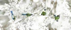 1116 x 508 - bellbirds.jpg (1417×611)
