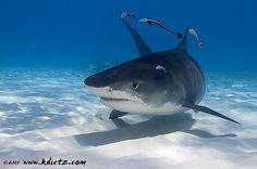 Tiger Shark, Shark Diving, Bahamas