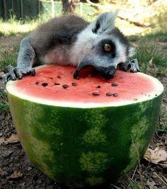 Lemur comiendo sandía.