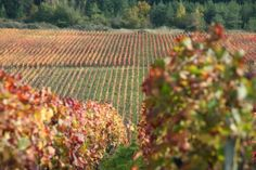 Couleurs automnales - Photographies Patrick Jassiones Vineyard, Champagne, Outdoor, Vine Yard, Photographs, Landscapes, Colors, Outdoors, Vineyard Vines
