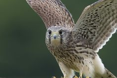 Kestrel close-up by Tony Andersson on 500px