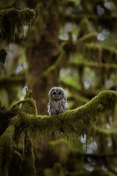 Moss and owl