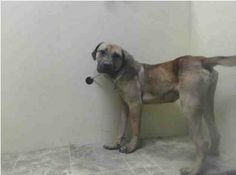 SAFE --- URGENT - Brooklyn Center    DIESEL - A0993845   MALE, BROWN, CANE CORSO / BOERBOEL, 11 mos  OWNER SUR - EVALUATE, NO HOLD Reason NO TIME   Intake condition NONE Intake Date 03/13/2014, From NY 11207, DueOut Date 03/13/2014 https://www.facebook.com/Urgentdeathrowdogs/photos_stream