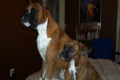 #Boxer Puppy & daddy watching t.v together
