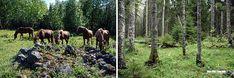 Suomalaista luontoa ja hevosia