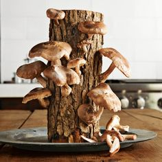 rganic shiitake mushrooms every two months for more than three years. Enjoy cooking with your first harvest within a month.