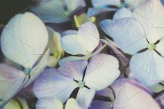 Hydrangea close-up by Maria Dattola Photography on @creativemarket
