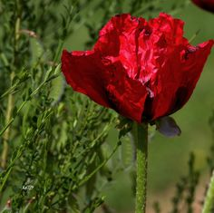Poison, Deviant Art, Link, Flowers, Plants, Balcony, Plant, Royal Icing Flowers, Flower
