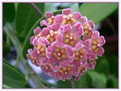 Mum Çiçeği (Hoya carnosa) - Sayfa 4 - Forum Gerçek