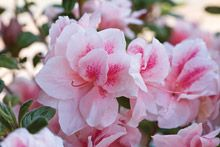 encore azalea - Jan's favorite color