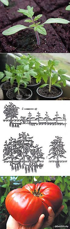 Тайны выращивания помидор.