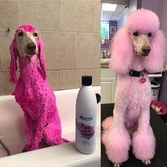 Funky Color Shampoo - Melinda Stewart applied the OPAWZ Funky Color shampoo pink on her Dog Grooming Styles, Dog Grooming Salons, Dog Grooming Supplies, Poodle Grooming, Dog Grooming Business, Dog Hair Dye, Dog Dye, Poodle Haircut Styles, Poodle Cuts