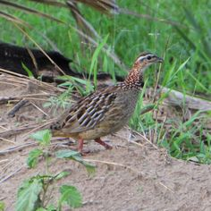 Crested Francolin in Saadani National Park Bee Eater, Tanzania, National Parks, Coast, Birds, World, Animals, Animales, Animaux