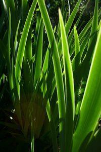 Iris Japonica, similar Iris confusa