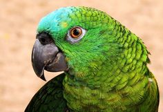 Parrot Photo by Lauro Winck -- National Geographic Your Shot