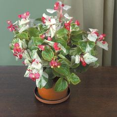 Begonia 'Calla Lily' (Begonia fibrous hybrid) - Indoor and Windowsill Plants - Indoor Plants