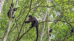 https://flic.kr/p/wpwrvA | Macacos! | Macacos na Floresta da Tijuca, Rio de Janeiro, Brasil. _________________________________________  Monkeys!  Monkeys in TIjuca Forest.  Rio de Janeiro, Brazil. Have a great weekend! :-)  _________________________________________  Buy my photos at / Compre minhas fotos na Getty Images  To direct contact me / Para me contactar diretamente: lmsmartinsx@yahoo.com.br