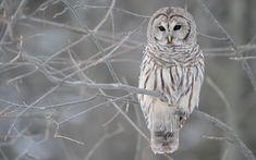 Barred Owl :> - owls photo