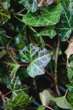 Types of Houseplant Bugs and Methods to Check Their Infestation verysimpleworld, nursery, michigan, group pursue Inside Plants, Ivy Plants, Hydroponic Plants, Hydroponics, Philodendron Scandens, Sansevieria Trifasciata, Banana Plants, Spider Plants, Snake Plant