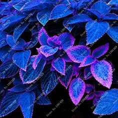 Cheap coleus seed, Buy Quality flower plant directly from China begonias flower Suppliers: 100 pcs / bag Rare blue Coleus seeds, beautiful flowering plants, potted bonsai balcony spell color, garden begonia flower