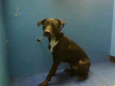 URGENT - Brooklyn Center   MR.JONES - A0986677   NEUTERED MALE, BLACK / WHITE, LABRADOR RETR / PIT BULL, 2 yrs  OWNER SUR - AVAILABLE, NO HOLD Reason MOVE2PRIVA  Intake condition NONE Intake Date 12/05/2013, From NY 11218, DueOut Date 12/05/2013 https://www.facebook.com/Urgentdeathrowdogs/photos_stream#!/photo.php?fbid=720231677989714&set=pb.152876678058553.-2207520000.1386292009.&type=3&theater