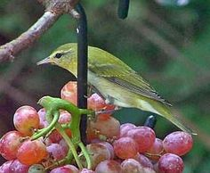 The Hand Forged Oriole Fruit Feeder is great for feeding bunches of grapes!