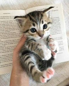 Want more Cute Cat Photos? Check out our website by clicking the photo - Adorable Cats and Cute Kittens - Chat Cute Baby Cats, Kittens And Puppies, Cute Cats And Kittens, Cute Baby Animals, Kittens Cutest, Ragdoll Kittens, Baby Puppies, Pretty Cats, Beautiful Cats