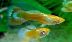 Albino Yellow Neon Streak Male Guppy - Guppy Pro | Guppy Pro