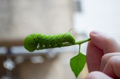 Tomato Hornworms: How to Identify and Get Rid of Tomato Hornworms | The Old Farmer's Almanac