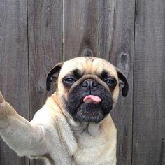 Pug Takes a Selfie