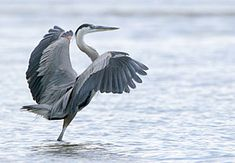 Great blue heron (Ardea herodias), a large wading bird common near the shores of open water and in wetlands over most of North America and Central America as well as the Caribbean and the Galapagos Islands. Lots of them where I live. Heron Tattoo, Dinosaurs Live, Flight Feathers, Grey Heron, Galapagos Islands, Images Google, Animal Totems, Sea Birds, In The Tree