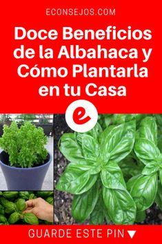 Albahaca beneficios   Doce Beneficios de la Albahaca y Cómo Plantarla en tu Casa   12 Beneficios de la albahaca y cómo plantarla en tu casa? Regalarme un gracias o un hola para saber si me lees.