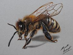 Bee Realistic Colored Pencil Drawings by Marcello Barenghi 3d Drawings, Realistic Drawings, Pencil Drawings, Pencil Sketching, Honey Bee Drawing, Honey Bee Tattoo, Petit Tattoo, Bee Art, Insect Art