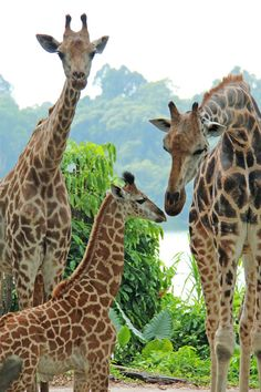 On August 31, Singapore Zoo proudly welcomed its first Giraffe calf in 28 years. The male calf is the first offspring for mom, Roni, and dad, Growie, who both arrived at the Singapore Zoo in 2005, from Israel and the Netherlands respectively.