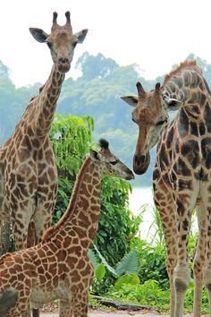 Singapore Zoo Celebrates New Giraffe Calf