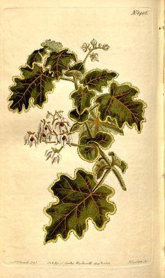 v.35-36 (1811-1812) - Curtis's botanical magazine. - Biodiversity Heritage Library