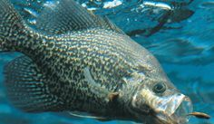 Learn how to catch crappie with great fishing tips and techniques using the best lures and bait.