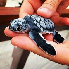 Best photos, images, and pictures gallery about baby sea turtle - sea turtle facts. Baby Animals Pictures, Cute Animal Pictures, Animals And Pets, Sea Turtle Pictures, Cute Creatures, Beautiful Creatures, Animals Beautiful, Beautiful Images, Baby Sea Turtles