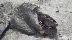 a strange creature washed up on the beach Pukehina in the Bay of Plenty in New Zealand. He explained that the dead animal to 9 meters long was found after violent storms ....... SPION.COM....