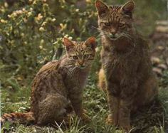 """African or Near Eastern wildcats """"Felis silvestris lybica"""". The ancestors of our domestic cats. Big Cats, Cats And Kittens, Amur Leopard, Cheetah, African Wild Cat, Animals And Pets, Cute Animals, Small Cat, Tier Fotos"""