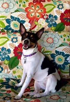 Lexi the Rat Terrier Rat Terrier Dogs, Toy Fox Terriers, Cute Puppies, Cute Dogs, Dogs And Puppies, Ice Age, Russell Terrier, Dog Accessories, Dog Walking