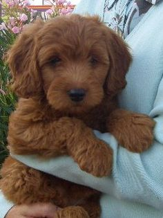 Golden Doodles, love the chocolate brown color of this one.  They are like live stuffed animals.