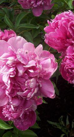 Peonies are one of my favorite flowers. So beautiful!