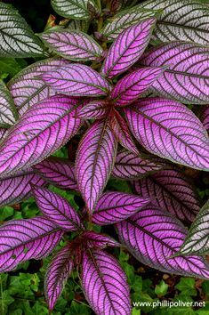 Persian Shield- gorgeous colors in shade especially; cut leaf, put in water to get roots, and poke in ground for more plants!