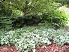 Petasites with Brunnera -- same shape leaves, but smaller and variegated -- also, you need a lot of room