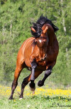 PRE Andalusian stallion Клинико (Kliniko)
