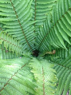 This male fern looks so fresh on a May morning. Our woods are just a short walk from our holiday railway carriages in St Germans, Cornwall. Holiday Accommodation, Fern, Cornwall, Woodland, Woods, Plant Leaves, Plants, Color, Woodland Forest