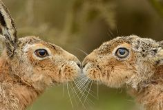 hare male and female - Google Search