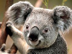 koala jigsaw puzzle graphic image